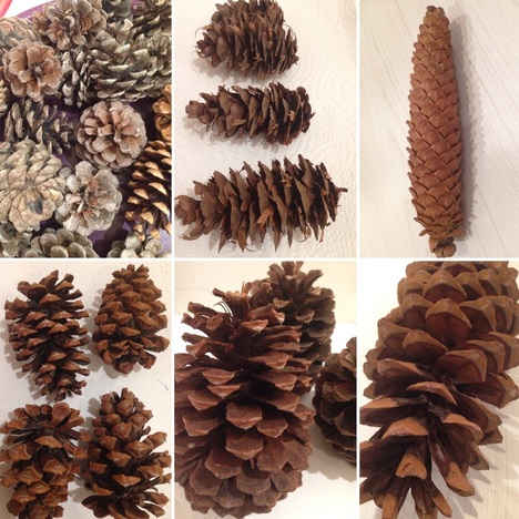 What is inside a pine cone?